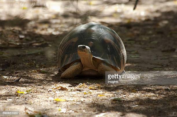 Radiated Tortoise Arboretum D'antsokay Toliara Province Madagascar