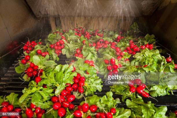 Radishes being washed before being packed for sale
