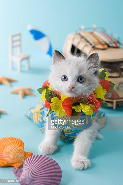 Rag Doll Kitten and Summer Vacation
