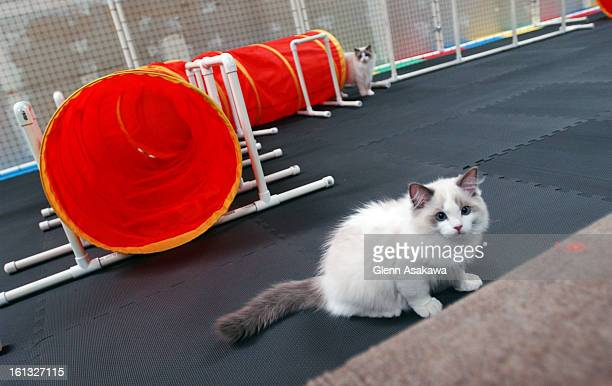 ARVADA COLORADO JULY 2 2004A 'Ragdoll' breed cat runs through a cat agility course set up in an old office space in Wheat Ridge recently Arnold <cq>...