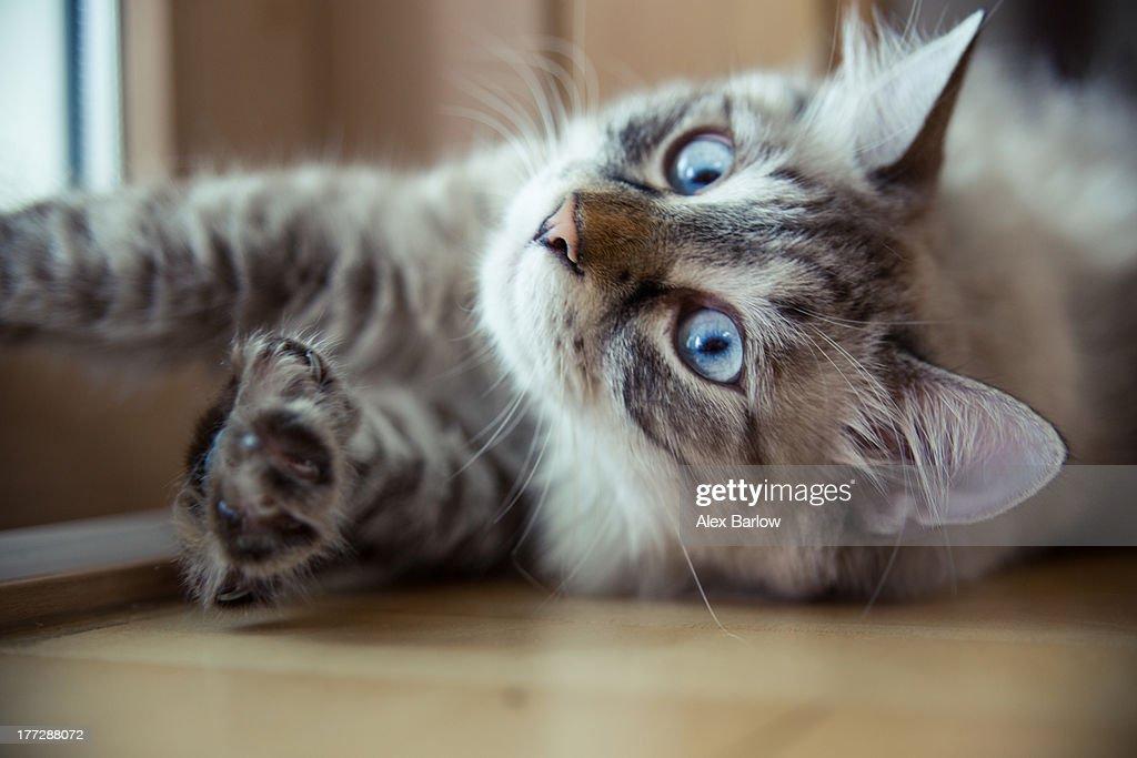 Ragdoll Cat Casper : Stock Photo
