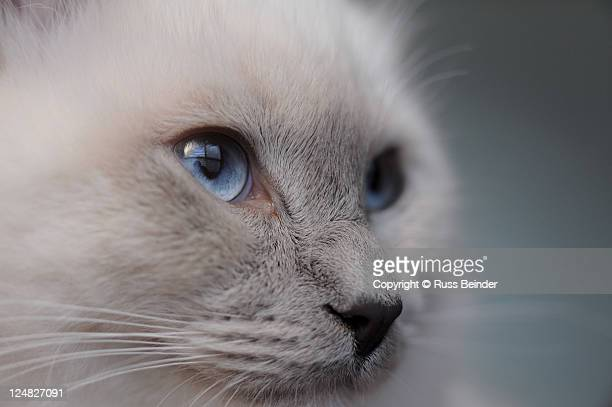 Ragdoll cat face close up