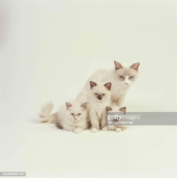 Ragdoll cat female with kittens