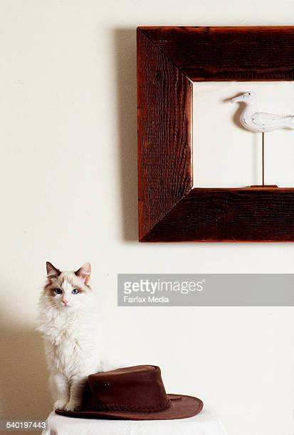Ragdoll cat sitting beside a brown leather akubra hat with a wooden frame on thewall