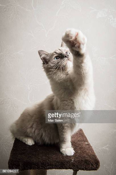 Ragdoll cat sitting on scratching post, front leg outstretched