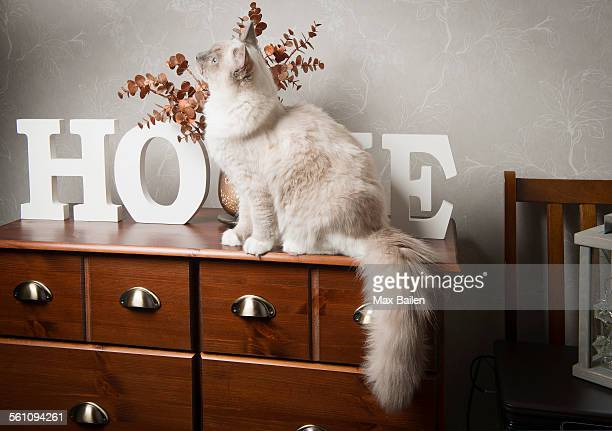 Ragdoll cat sitting on sideboard