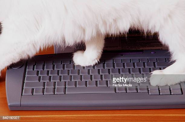 Ragdoll cat walking on a computer keyboard