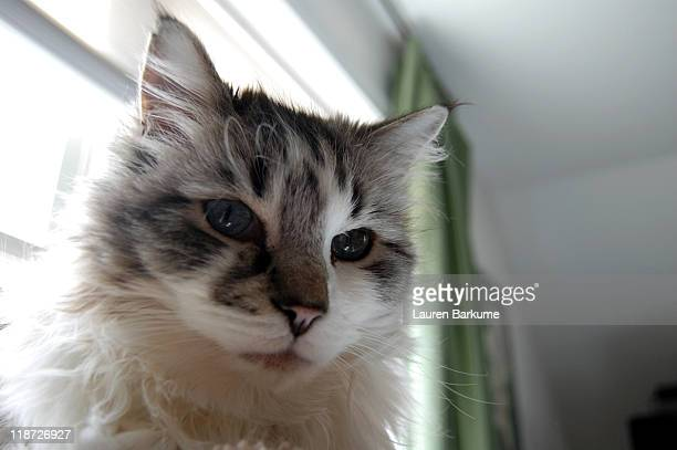 Ragdoll fluffy cat portrait