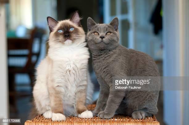 Ragdoll kitten and British shorthair kitten