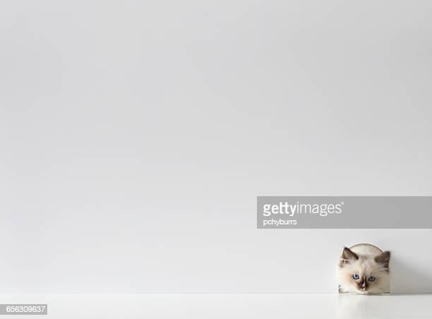 Ragdoll kitten cat peeking through a mouse hole