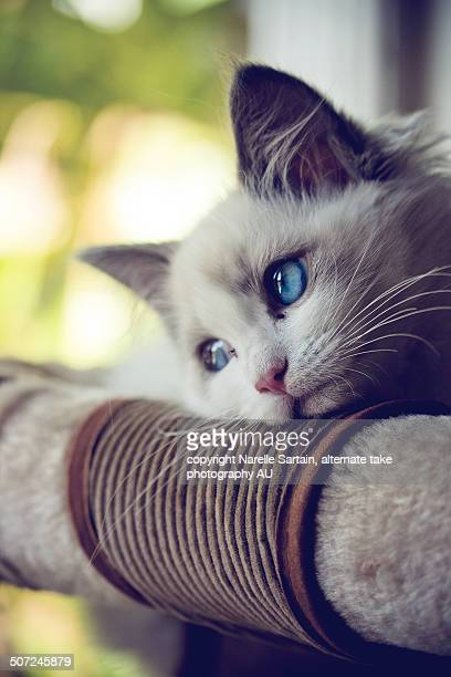 Ragdoll kitten with blue eyes looking out window