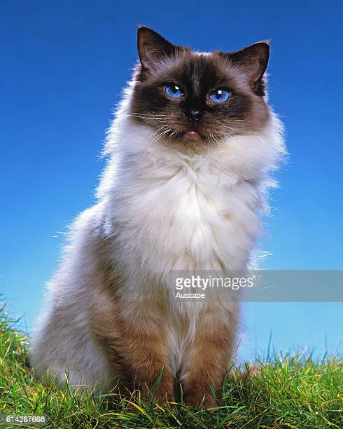 Ragdoll Seal Point cat sitting staring at photographer with its blue eyes