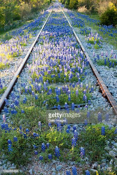 Railroad tracks overgrown with Bluebonnets (Lupinus texensis),Texas, USA, North America