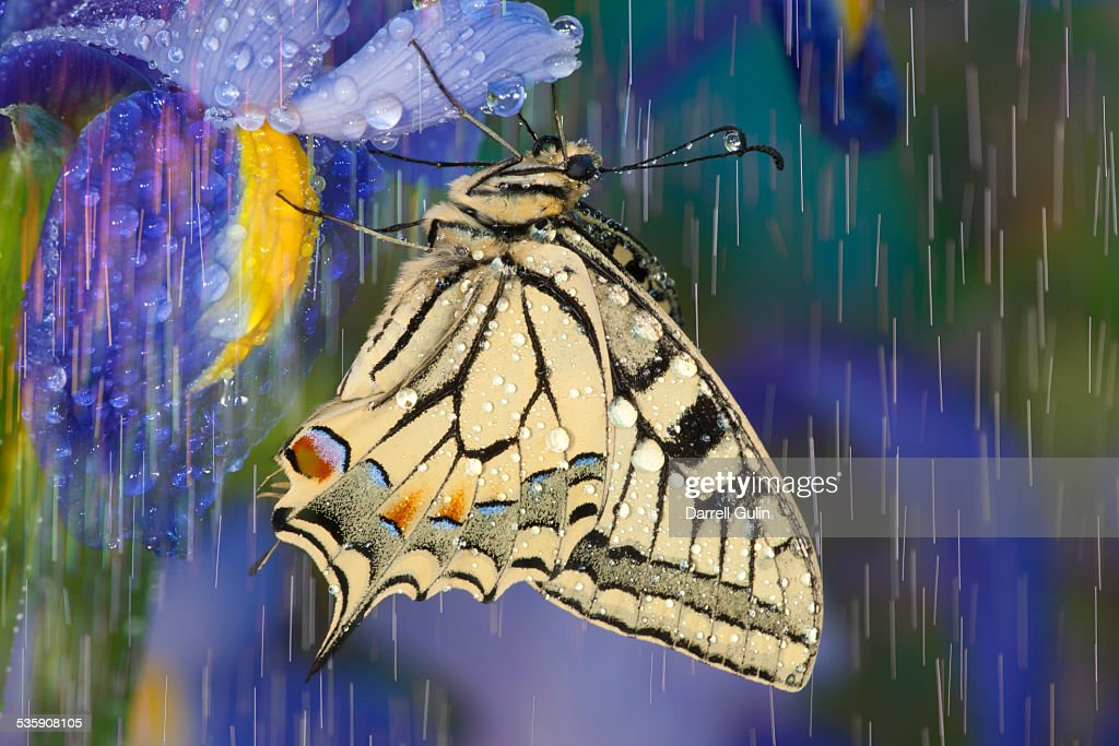 Rain drops on old world swallowtail butterfly : Stock Photo