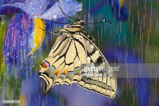 Rain drops on old world swallowtail butterfly : Foto de stock
