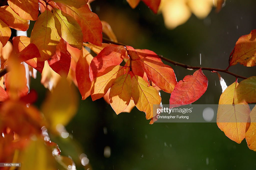 Rain falls on autumnal leaves at Tatton Park on October 21, 2013 in Knutsford, United Kingdom. The mild weather in the United Kingdom has delayed Autumn by up to two weeks according to statistics by The Woodland Trust. Members of the public have submitted their observations to the trust's Nature's Calendar which shows that the traditional Autumn tints are finally appearing on ash, elder, oak and horse chestnut.