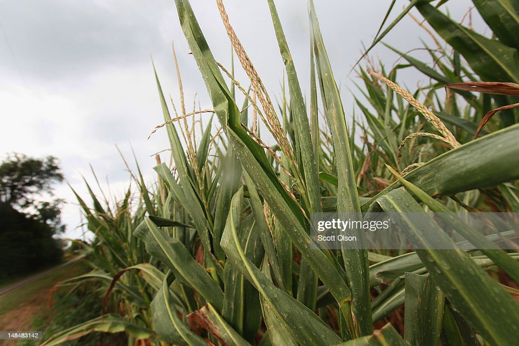 Rain falls on drought-damaged corn on July 17, 2012 near Somerville, Indiana. The corn and soybean belt in the middle of the nation is experiencing one of the worst droughts in more than five decades. Indiana was the nation's fourth largest corn producer in 2011.