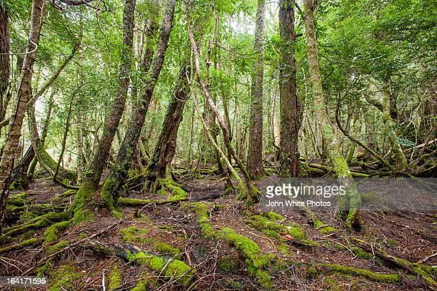 Rain forest. Tasmania. Australia.