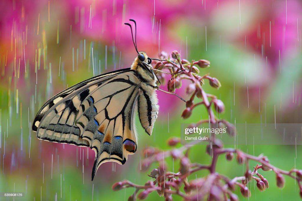 Rain on old world swallowtail butterfly : Stock Photo