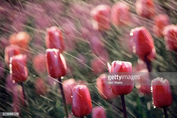 Rain on Pink Tulips