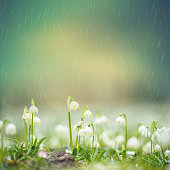 Leucojum vernum in early spring on a rainy day