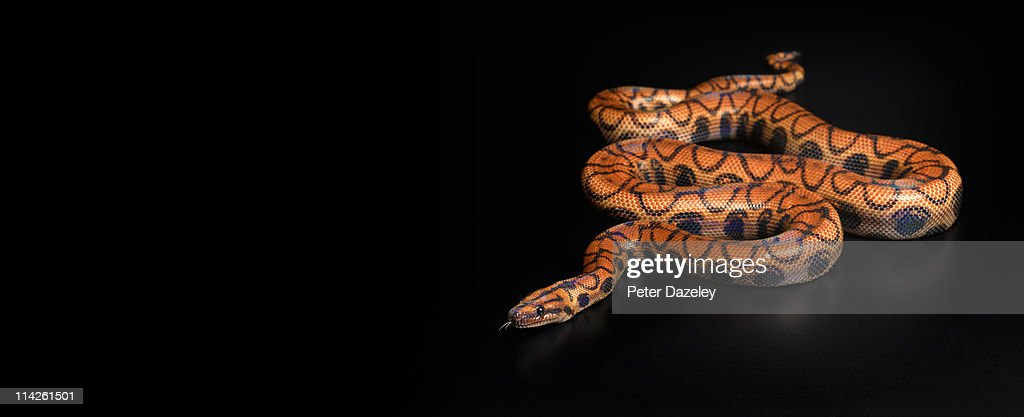 Rainbow boa constrictor with copy space : Stock Photo