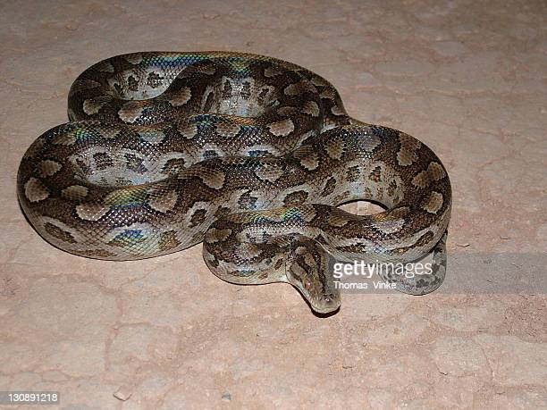 Rainbow boa (Epicrates cenchria) with rainbow-like iridescence on its scales, Gran Chaco, Paraguay