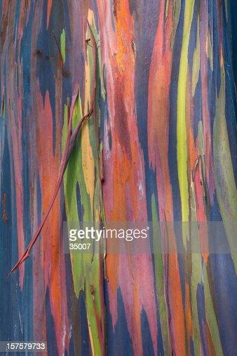 gum.RFレインボーユーカリの樹皮RFユーカリの木RFユーカリの木の質感RFKoala in