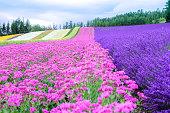 Rainbow flower field, colorful pink flower and violet lavender flower, Furano, Hokkaido in Japan