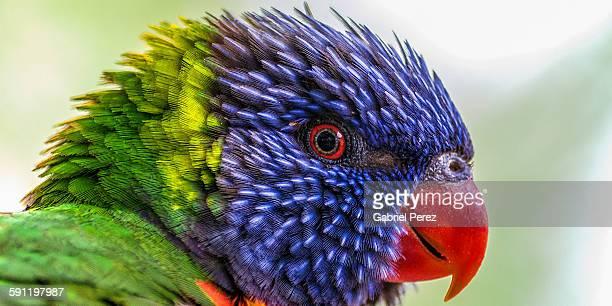 A rainbow lorikeet bird