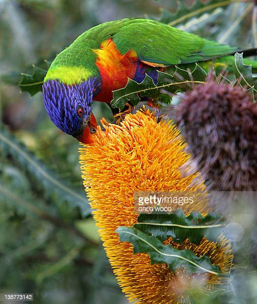 A Rainbow Lorikeet drinks nectar from the flower of a Banksia Ashbyi shrub in a Perth suburb 16 June 2005 The Rainbow Lorikeet is widely distributed...
