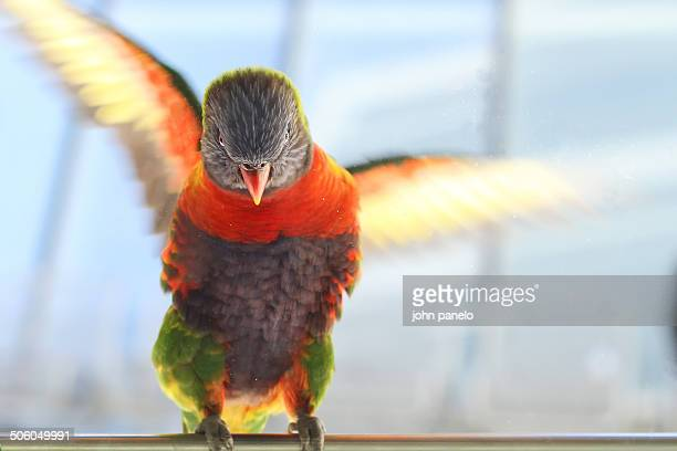Rainbow Lorikeet flapping its wings in Australia