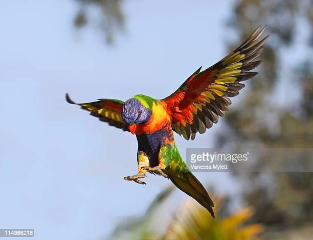 Rainbow Lorikeet flying