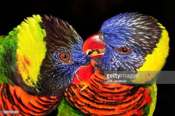 Rainbow lorikeet lovebirds
