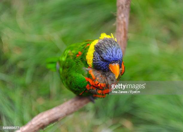 Rainbow Lorikeet Perching On Twig In Forest