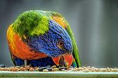 Close up portrait of a rainbow lorikeet eating birdseed
