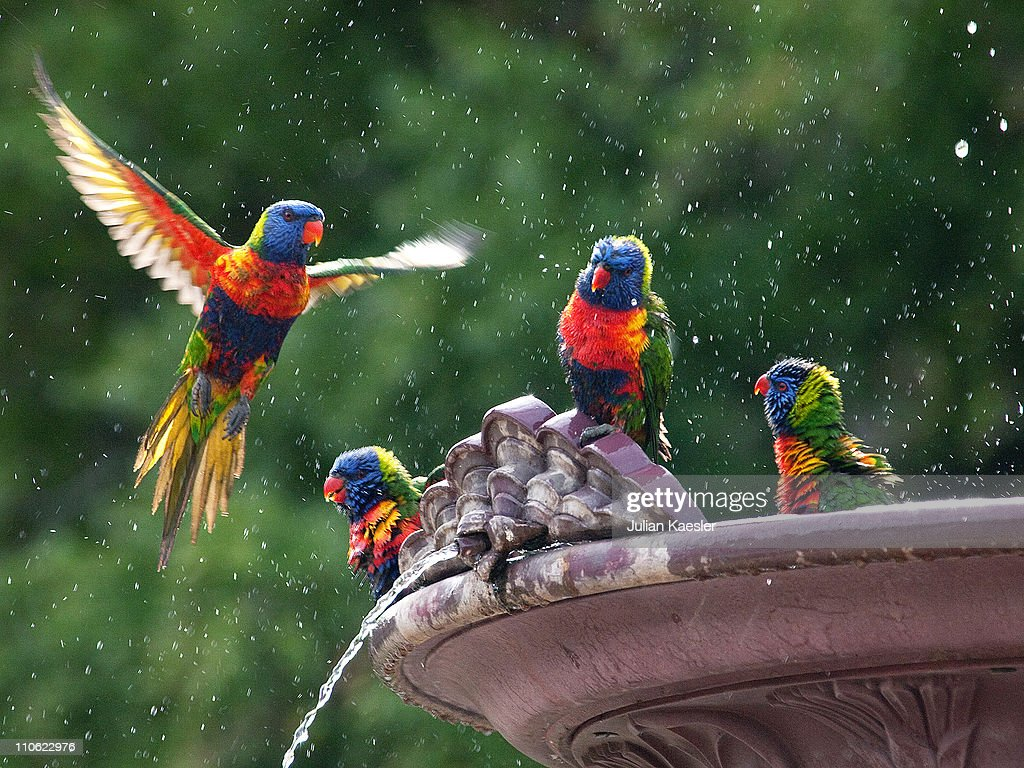 Rainbow Lorikeets, Adelaide Botanic Gardens