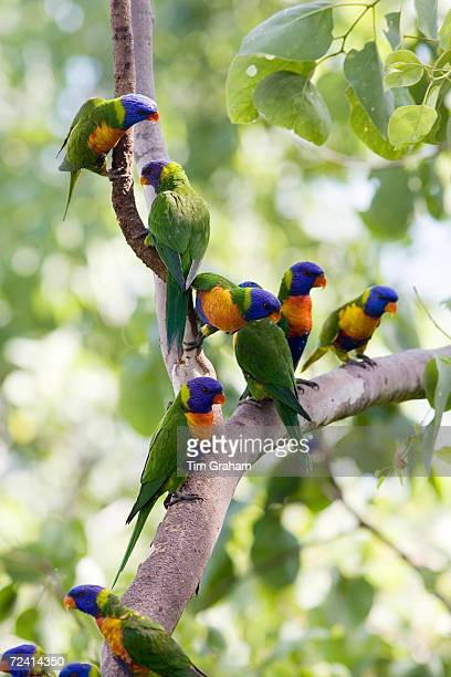 Rainbow Lorikeets perched on a branch Queensland Australia