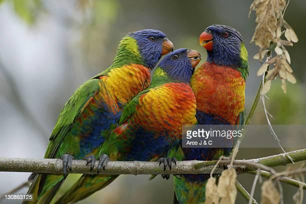 Rainbow Lory with youngs, Australia / (Trichoglossus haematodus moluccanus)