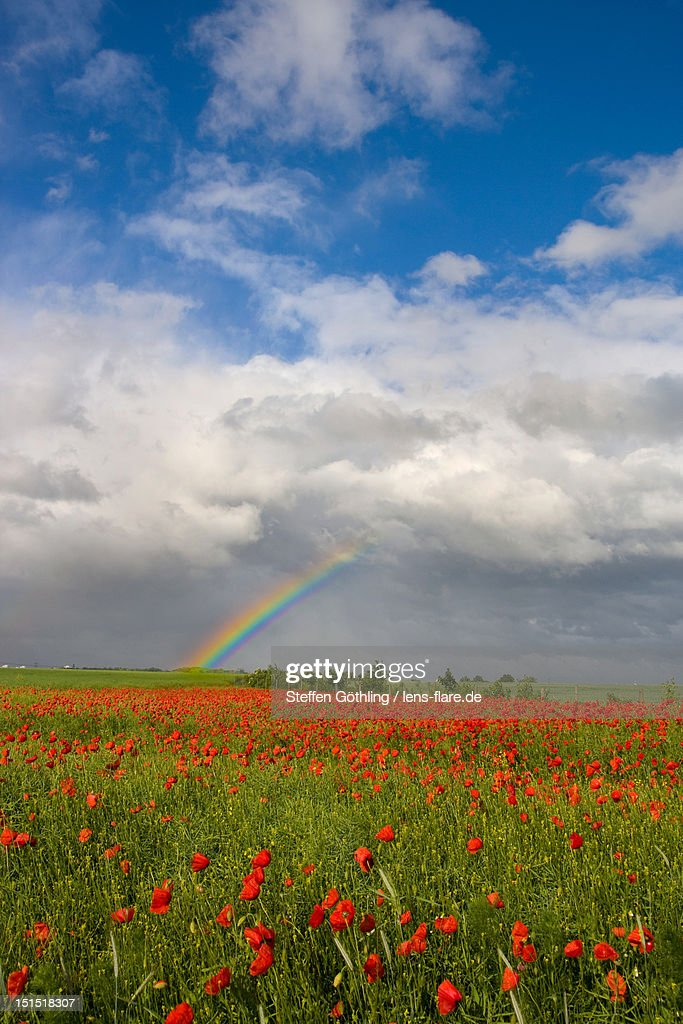 Rainbow on poppy field : Stock Photo