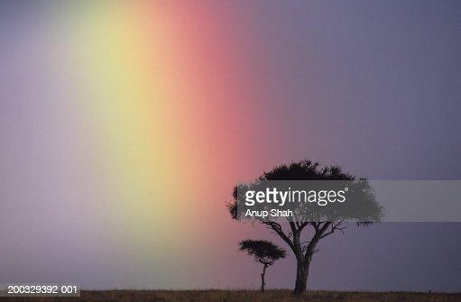 Rainbow over acacia tree on savannah, Masai Mara National Reserve, Kenya : Stock Photo