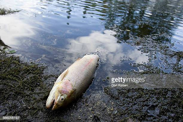 ––Rainbow trout brood stock rests dead in pond @@#1 at Mt Whitney Fish HAtchery Mudslide destroys infrastructure of the Mt Whitney Fish Hatchery Just...