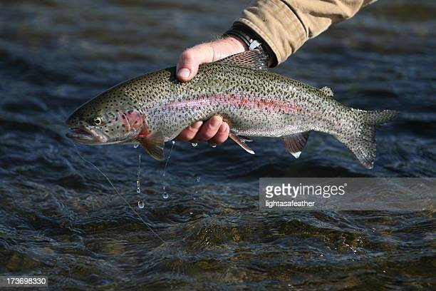Steelhead trout stock photos and pictures getty images for Alaska fly fishing goods