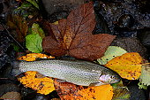 Rainbow trout laid on maple leaf in stream