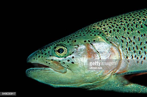 rainbow trout Oncorhynchus mykiss Germany Bavaria