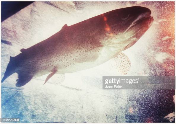 A rainbow trout seen through the window of the aquarium at the Hagenbeck Zoo on April 30 2013 in Hamburg Germany