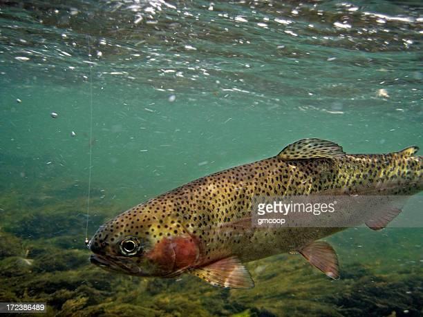Rainbow Trout Underwater - Oncorhynchus mykiss
