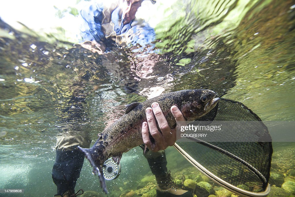 Rainbow Trout Underwater : Stock Photo