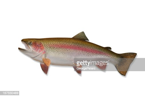 Rainbow Trout with Clipping Path