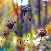 Dried queen annes lace with rainbow fall colors in wooded background.
